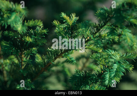 western yew, pacific yew (Taxus brevifolia), is used against cancer - Stock Photo