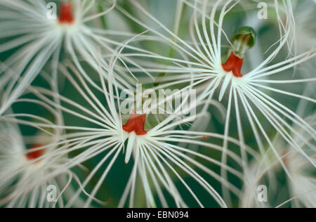 fringed orchis, rein orchis (Habenaria myrioptricha), flowers - Stock Photo