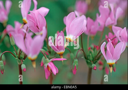 shootingstar, American cowslip (Dodecatheon meadia), blooming - Stock Photo