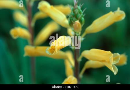 Yellow Soldier (Lachenalia reflexa), blooming - Stock Photo