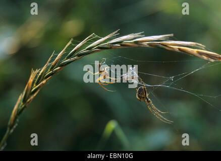 Autumn orbweaver (Meta segmentata, Metellina segmentata), couple with prey in the spider web, Germany - Stock Photo