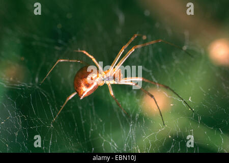 Sheet-web weaver, Line-weaving spider, Line weaver (Linyphia triangularis), sitting in the spider web, Germany - Stock Photo