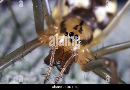 Sheet-web weaver, Line-weaving spider, Line weaver (Linyphia triangularis), female, Germany - Stock Photo