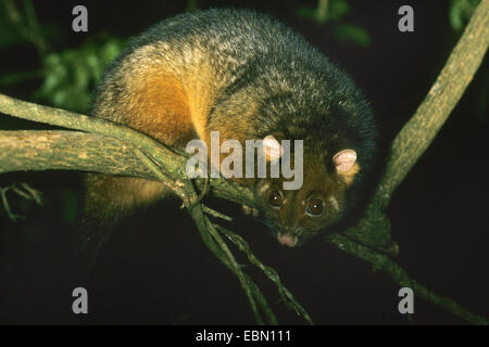 common ringtail possum (Pseudocheirus peregrinus), climbing on a branch - Stock Photo