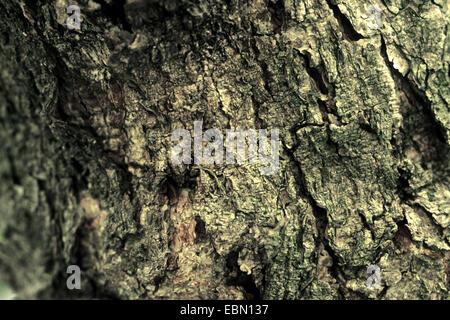 wafer ash, hop tree, stinking ash (Ptelea trifoliata), bark - Stock Photo