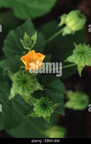 Indian Abutilon, Indian Mallow (Abutilon indicum), blooming - Stock Photo