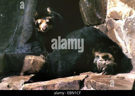 Spectacled bear, Andean bear (Tremarctos ornatus), two Andean bears on a rock - Stock Photo