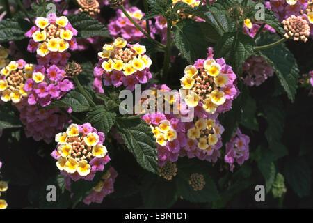 lantana (Lantana camara 'Feston Rose', Lantana camara Feston Rose), cultivar Feston Rose - Stock Photo