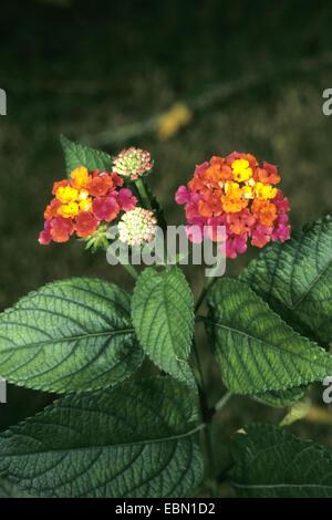 lantana (Lantana camara 'Radiation', Lantana camara Radiation), cultivar Radiation - Stock Photo