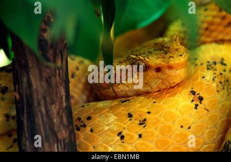 eyelash viper, horned palm viper, eyelash palm pit viper (Bothrops schlegelii, Bothriechis schlegelii), lying on - Stock Photo