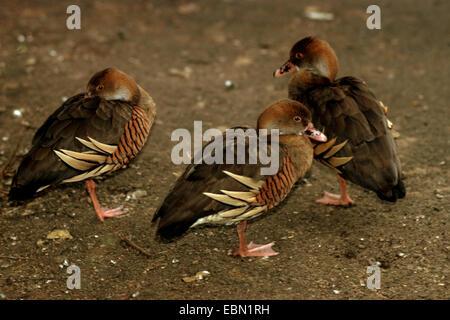 plumed whistling duck (Dendrocygna eytoni), three plumed whistling ducks standing on one leg - Stock Photo