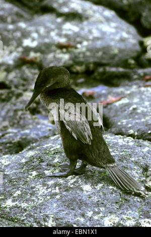 Flightless Cormorant, Galapagos Cormorant (Nannopterum harrisii, Phalacrocorax harrisii), staning on a rock, Ecuador, - Stock Photo