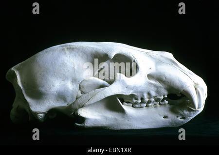 polar bear (Ursus maritimus), skull of a polar bear - Stock Photo