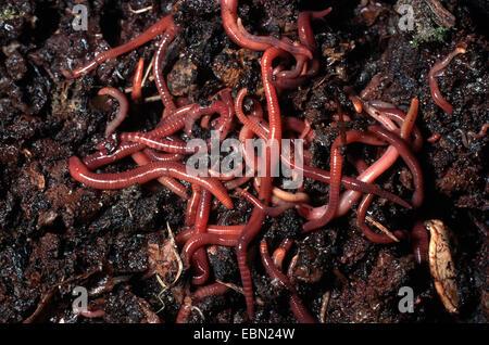 brandling, manure worm (Eisenia fetida, Eisenia foetida), creeping in soil, Germany - Stock Photo