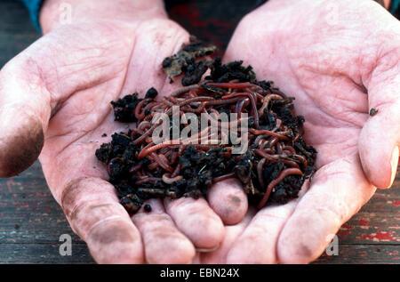 brandling, manure worm (Eisenia fetida, Eisenia foetida), with soil in hands, Germany - Stock Photo