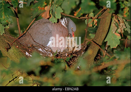 Portrait of a baby pigeon sitting in the flower pot and ...