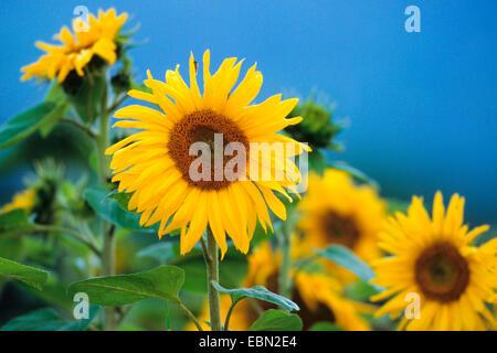 common sunflower (Helianthus annuus), sunflowers field, Germany - Stock Photo