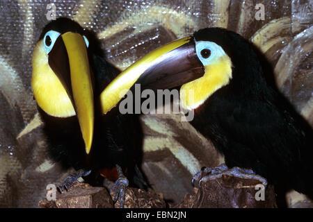 chestnut-mandibled toucan (Ramphastos swainsonii), two chestnut-mandibled toucans in enclosure - Stock Photo