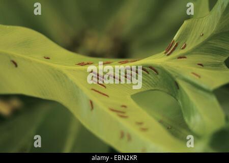 bird's nest fern (Asplenium nidus 'Amy', Asplenium nidus Amy), cultivar Amy, sporangia on underside of leaf - Stock Photo