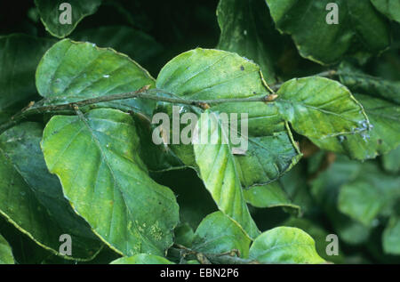 Woolly beech aphid (Phyllaphis fagi), damage of beech leaves, Germany - Stock Photo