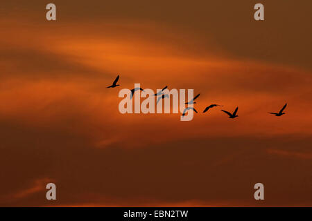 greylag goose (Anser anser), migratory birds at the morning sky in October, Germany - Stock Photo