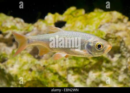 rudd (Scardinius erythrophthalmus), swimming, Germany - Stock Photo