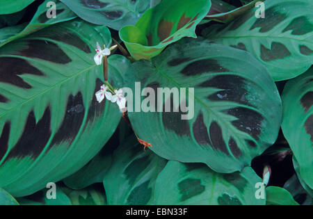 Prayer Plant (Maranta leuconeura), leaves - Stock Photo