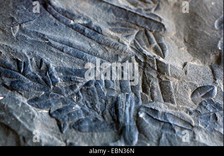 Alethopteris, fossile seed fern from Carboniferous - Stock Photo
