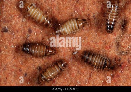 varied carpet beetle (Anthrenus verbasci), top view - Stock Photo