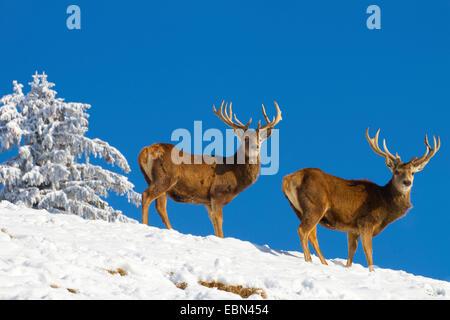 red deer (Cervus elaphus), two stags in winter against blue sky, Austria, Vorarlberg - Stock Photo