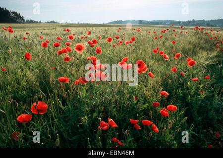 common poppy, corn poppy, red poppy (Papaver rhoeas), corn field in early morning light, Germany - Stock Photo