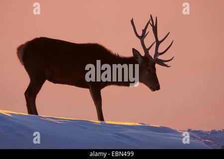 red deer (Cervus elaphus), bull standing on a snow-covered slope at sunset, Austria, Vorarlberg - Stock Photo