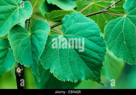 large-leaved lime, lime tree (Tilia platyphyllos), leaves - Stock Photo