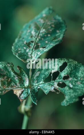 banded rose sawfly (Allantus cinctus), burrows on rose - Stock Photo