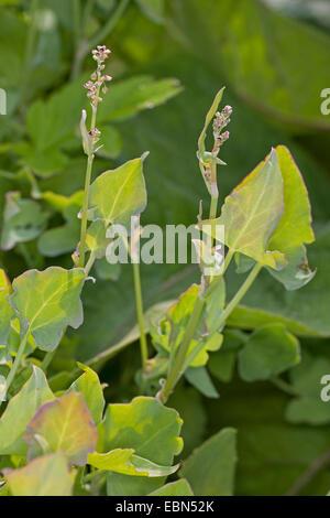 True French sorrel, French sorrel (Rumex scutatus), blooming, Germany - Stock Photo