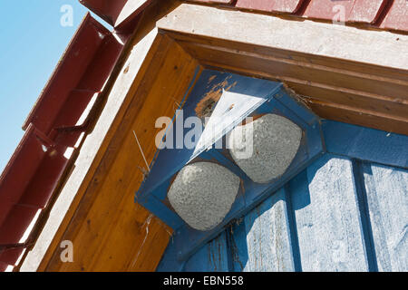 common house martin (Delichon urbica), nesting box for house martins and starlings in the gabled roof of a house, - Stock Photo