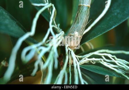 antelope orchid (Dendrobium delicatum), aerial roots - Stock Photo