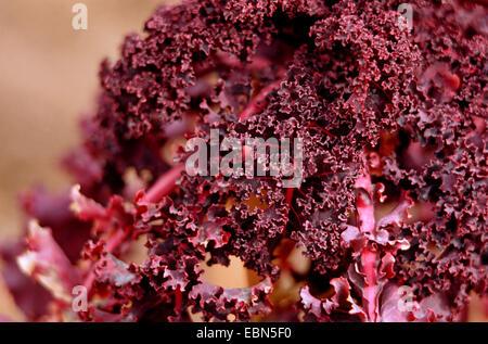 kale (Brassica oleracea var. sabellica, Brassica oleracea convar. acephala var. sabellica), cultivar Rote Palme - Stock Photo