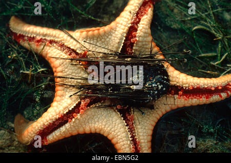 cushion stars (Oreasteridae), underside with the remains of an eaten sea urchin, Indopazifik - Stock Photo