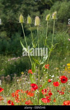 Wild teasel, Fuller's teasel, Common teasel, Common teazle (Dipsacus fullonum, Dipsacus sylvestris), blooming in - Stock Photo