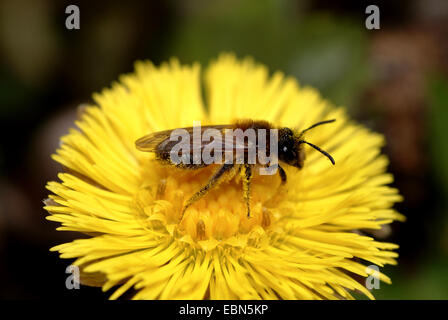 colt's-foot, coltsfoot (Tussilago farfara), flower with vee, Germany - Stock Photo