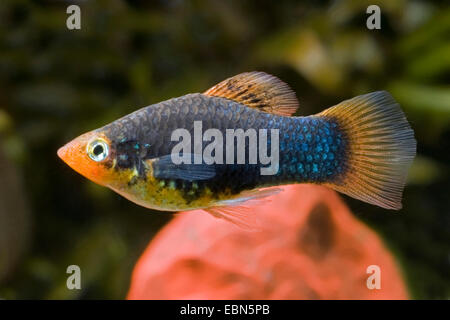 southern platyfish, Maculate Platy (Xiphophorus maculatus), breed Black - Stock Photo