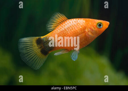 southern platyfish, Maculate Platy (Xiphophorus maculatus), breed Mickey Mouse Bronze - Stock Photo