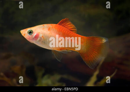 southern platyfish, Maculate Platy (Xiphophorus maculatus), breed Sunlight - Stock Photo