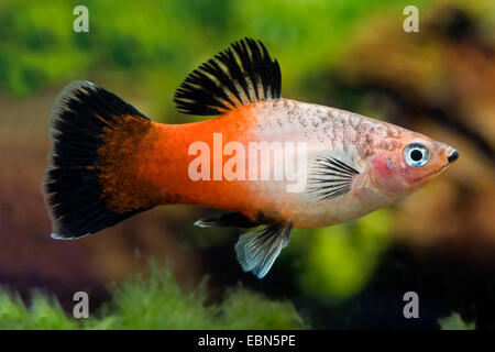 southern platyfish, Maculate Platy (Xiphophorus maculatus), breed Showa Tricolor - Stock Photo