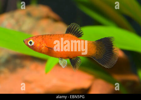 southern platyfish, Maculate Platy (Xiphophorus maculatus), breed - Stock Photo