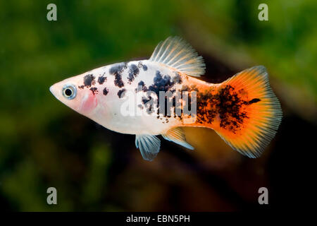 southern platyfish, Maculate Platy (Xiphophorus maculatus), breed Pepper & Salt Red - Stock Photo