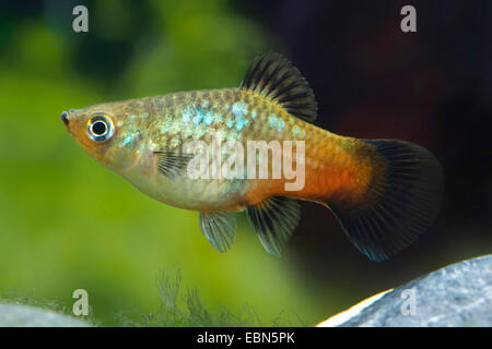 southern platyfish, Maculate Platy (Xiphophorus maculatus), female, breed Rainbow - Stock Photo