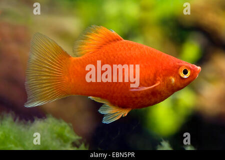 southern platyfish, Maculate Platy (Xiphophorus maculatus), breed Coral Platy - Stock Photo