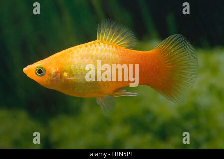 southern platyfish, Maculate Platy (Xiphophorus maculatus), breed Marygold Sunset - Stock Photo